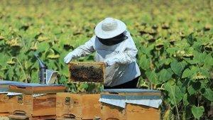 Arıcılık, ipek böcekçiliği, kaz ve hindi yetiştiriciliğine destek