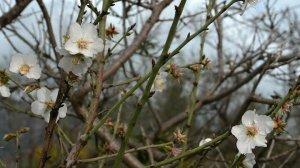 Badem ağaçları 'Yalancı bahar'a aldandı: Çiçek açtı