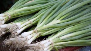 Bilecikli yeşil soğan üreticileri fiyatlardan memnun