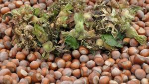 Giresun'da şekersiz fındık ezmesi üretildi