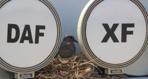 Kumru TIR'a yuva yaptı: Şoför yavrular uçana kadar sefere çıkmayacak