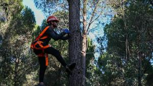 15 metrelik ağaçların tepesinde topluyorlar: 1 tonundan sadece 15 kilo çıkıyor