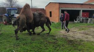 Çanakkale'de deve güreşleri: 8 deve birbiriyle güreştiriliyor