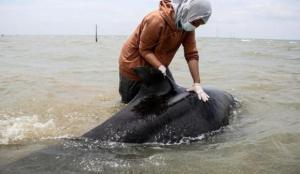 Endonezya sahillerinde karaya oturan kısa yüzgeçli pilot balinalardan 52'si öldü