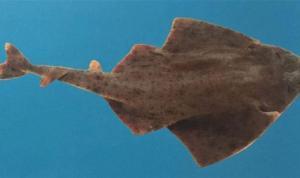 Nesli tükenme tehlikesi altındaki keler balığı Antalya'da yakalandı