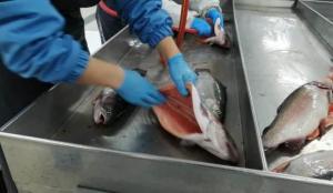Rize'de üretilen Somon Balığı'nın ihracatı bu yıl yüzde 55 arttı