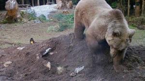Telef olan ineğin bir kısmını yiyen ayı kalan kısmını ise gömdü