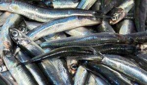 Yasak kalktı, balıkçılar akın etti! Tezgah fiyatı belli oldu