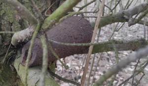 Ağaçta 2. Dünya Savaşı'ndan kalma bomba bulundu