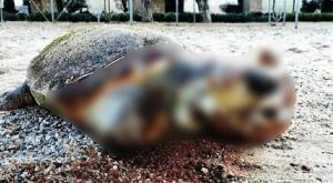 İnsanlığımızı Kaybedeli Çok Olmuş! Muğla'da Karaya Vuran Caretta Caretta'nın Yüzgecini Kestiler