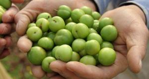 Yeşil eriğin fiyatı çeyrek altını geride bıraktı: Kilosu 750 lira