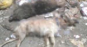 Çanakkale'de 30'a Yakın Kedi ve Köpek Zehirlendi!