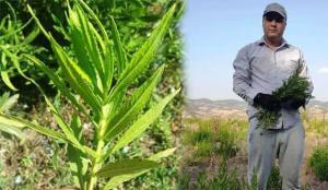 Kanser hastalarının aradığı bitki: Yapışkan andız otu