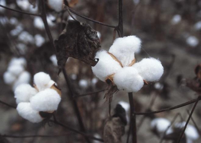 CottonPlant