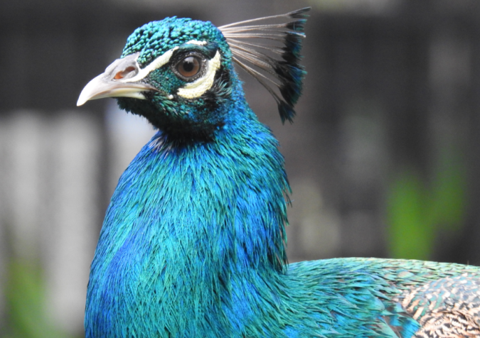Close up of the peacock