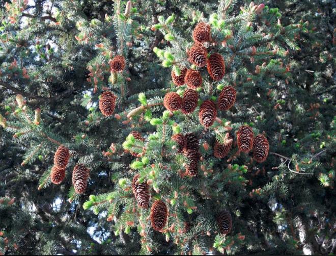 Pine cones in Pontresina
