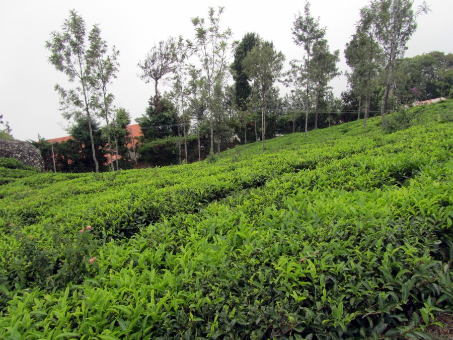 Tea being grown in the Nilgiris