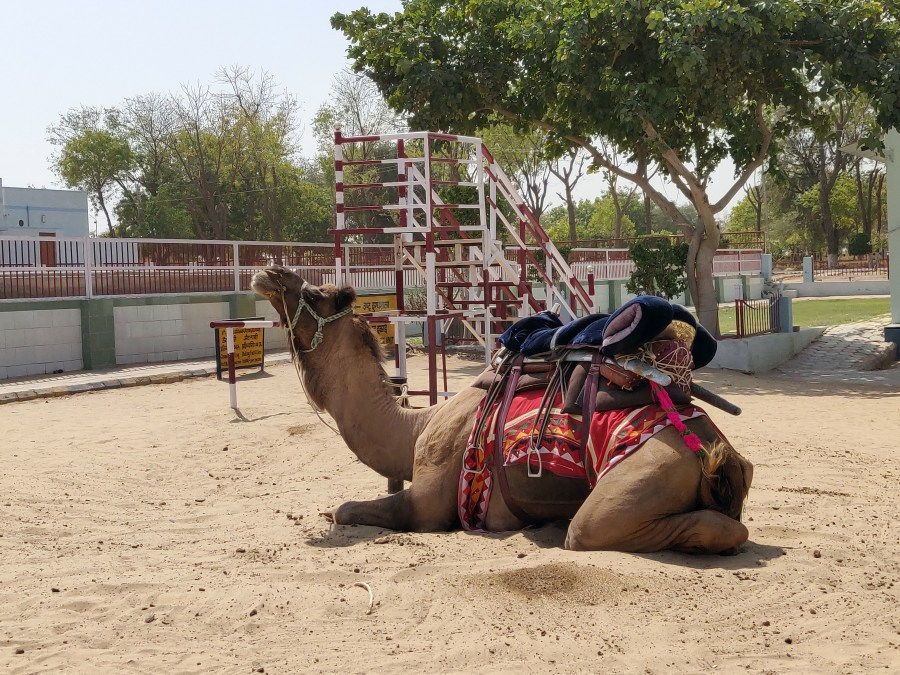 Camel rehabilitation