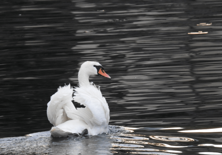 A swan in Parco Ciani