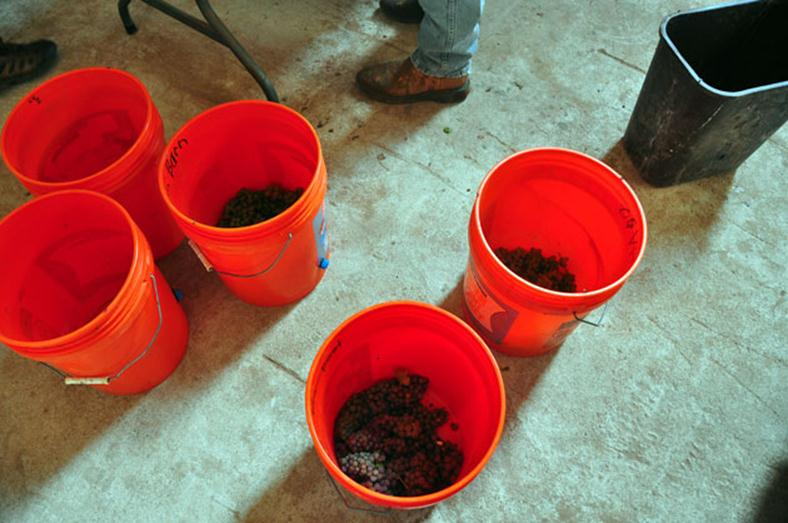 Home Depot orange bucket marked with black Sharpe to denote what type of grapes have been put into the bucket for testing to see if they are ready for harvest. Some filled with grapes.