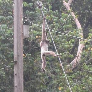 A gibbon swings around the visitor center