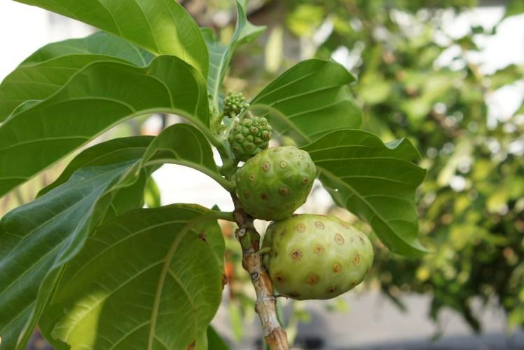 Mengkudu, Morinda citrafolia