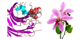 Bauhinia-purpurea-Camel-foot-tree-lectin