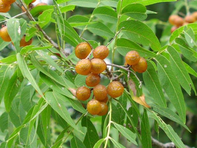 Fructe de nuci de sapun in copac