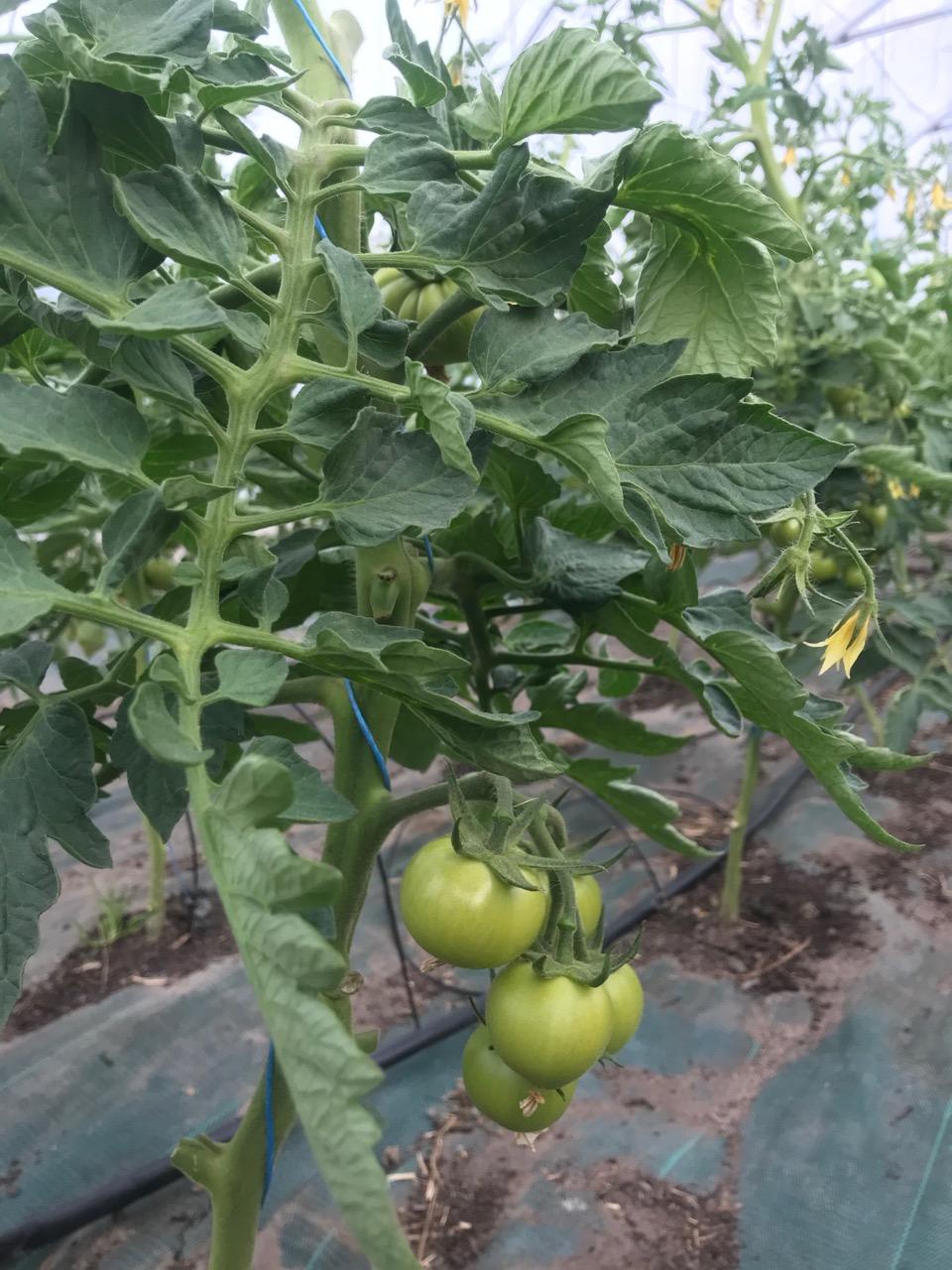 Tomates, Concombre