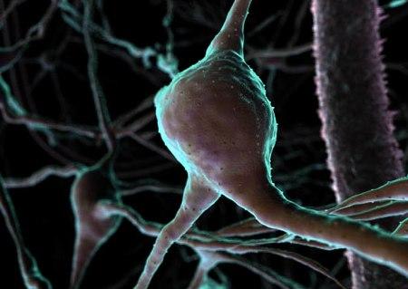 Risultati immagini per cellula cerebrale