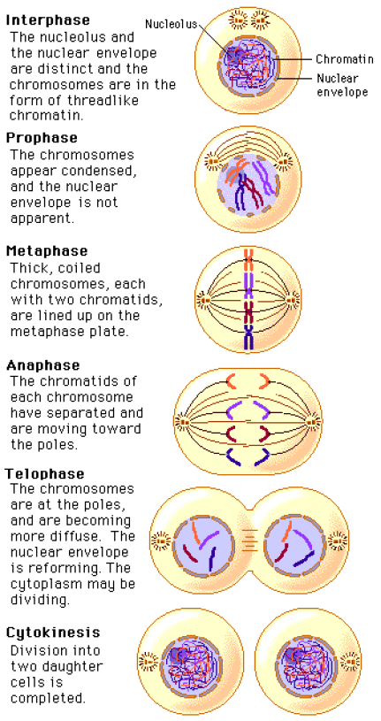 Mitosis and its Stages in Plants and Animals