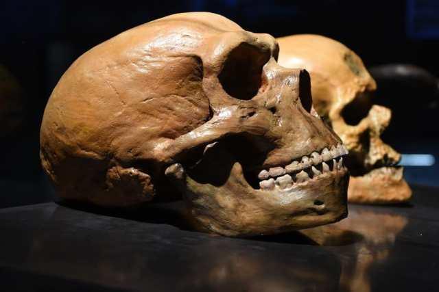 cráneo Homo neanderthal Vs Homo sapiens