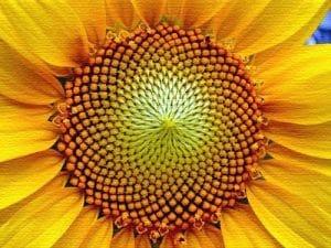 Bioenigmas III: la sucesión de Fibonacci y la proporción áurea en la naturaleza. 2