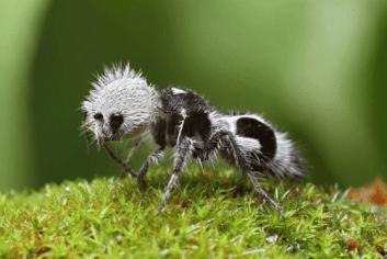 Hormiga panda (Euspinolia militaris)