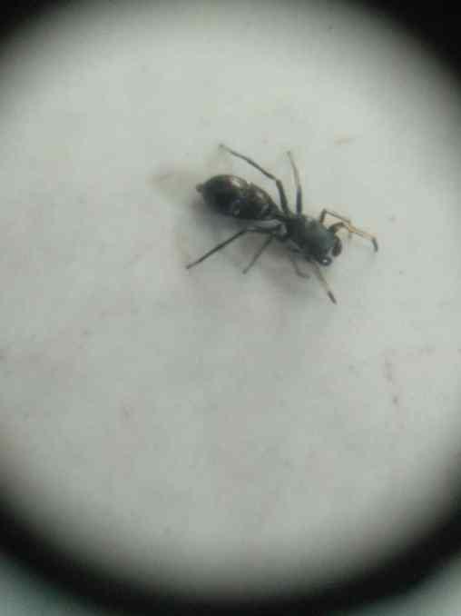 saltícidos que parecen hormigas