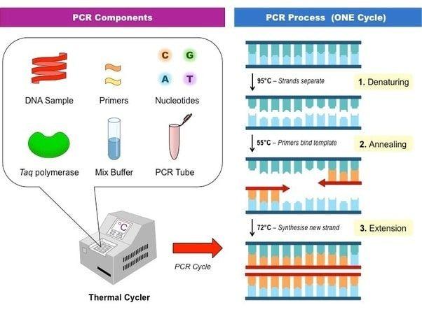 PCR: test de detección del SARS CoV-2