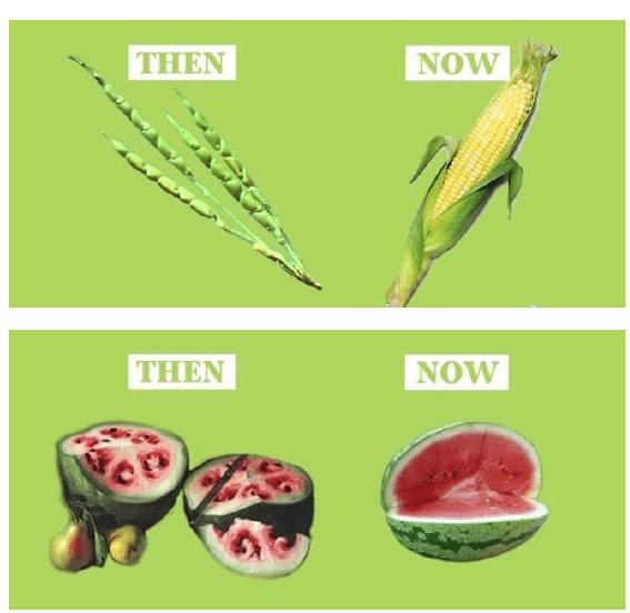 Organismos genéticamente modificados. Aplicaciones de la Biotecnología