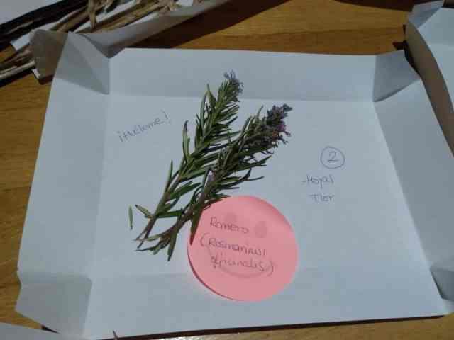 Juego de identificación de plantas. Romero, Rosmarinus officinalis