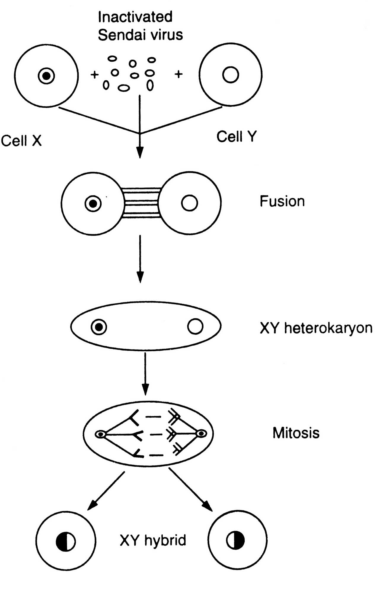 Somatic Cell Fusion