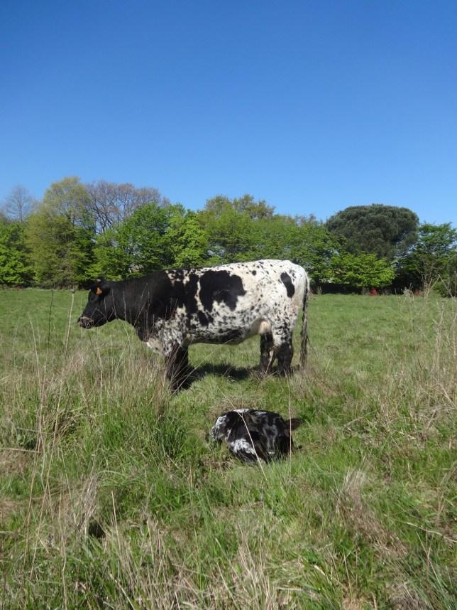 DSC03140 (vache et veau Artigue)