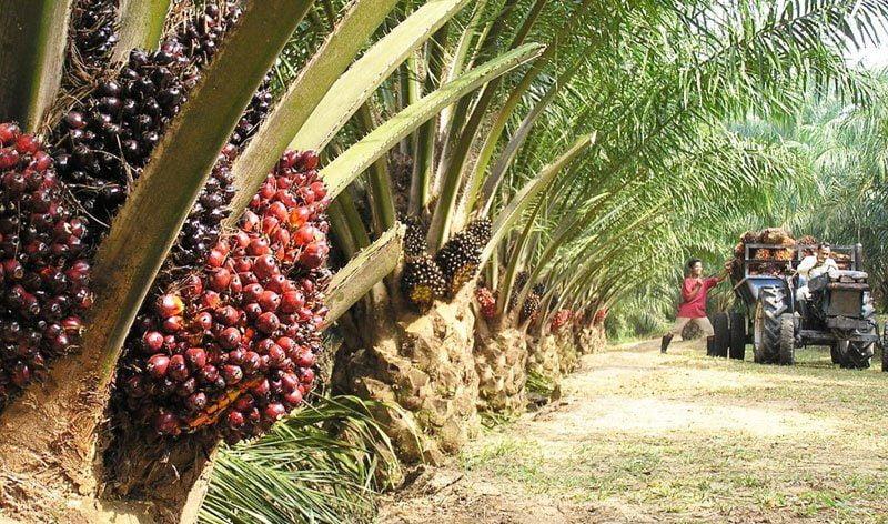 Unilever utilizará tecnología de geolocalización para rastrear el origen del aceite de palma