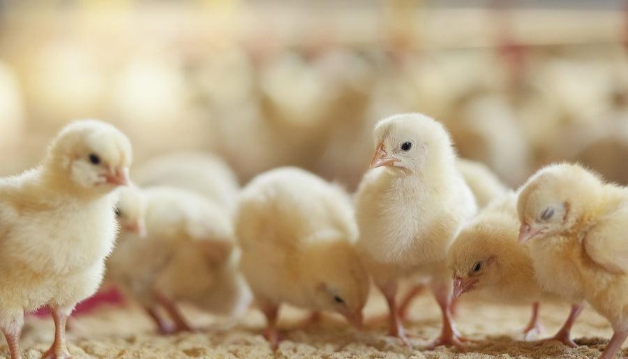 Comprueban los beneficios de los probióticos en la nutrición animal