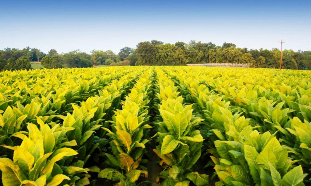 Lider en la industria de tabaco podría tener lista vacuna contra el Covid-19 a mediados de junio