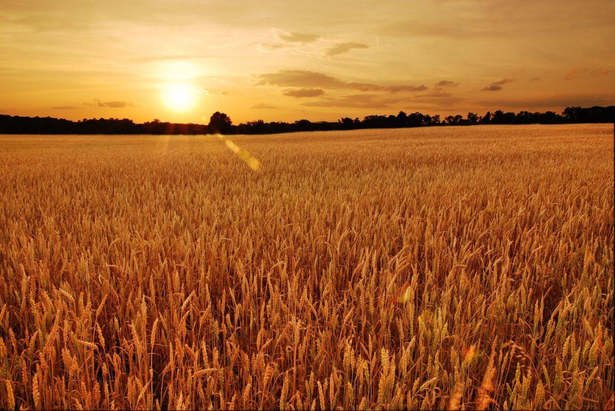 Indigo lanzó la campaña de trigo 2020