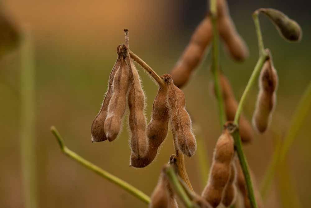 Las nuevas variedades de soja ponen el foco en el rendimiento y en la estabilidad