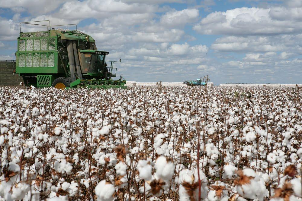 EEUU. El cultivo de algodón crece en sustentabilidad