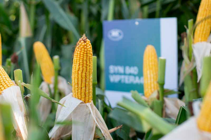 Maíz tardío: un sistema de cultivo que se consolida año a año