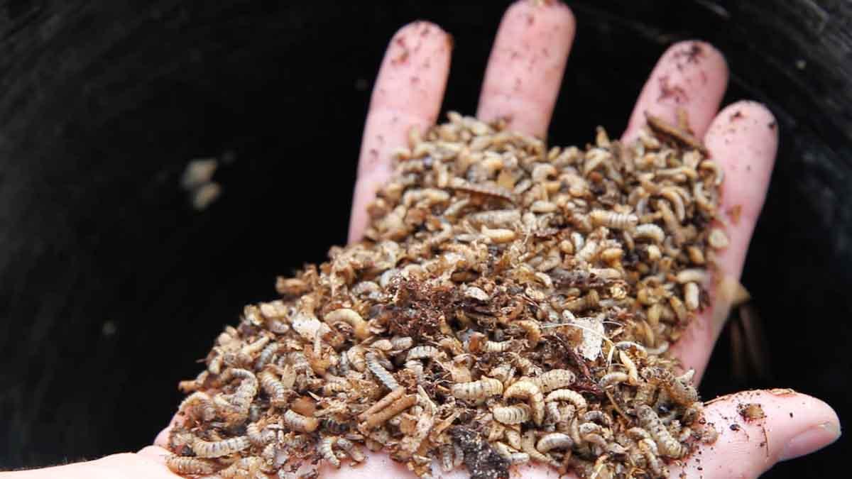 Gobierno del Reino Unido respalda la producción de harina de insectos