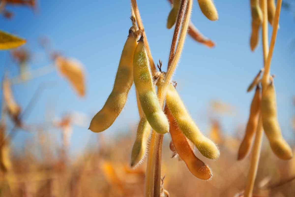 ADM adquiere toda la producción de soja de alto contenido de ácido oleico
