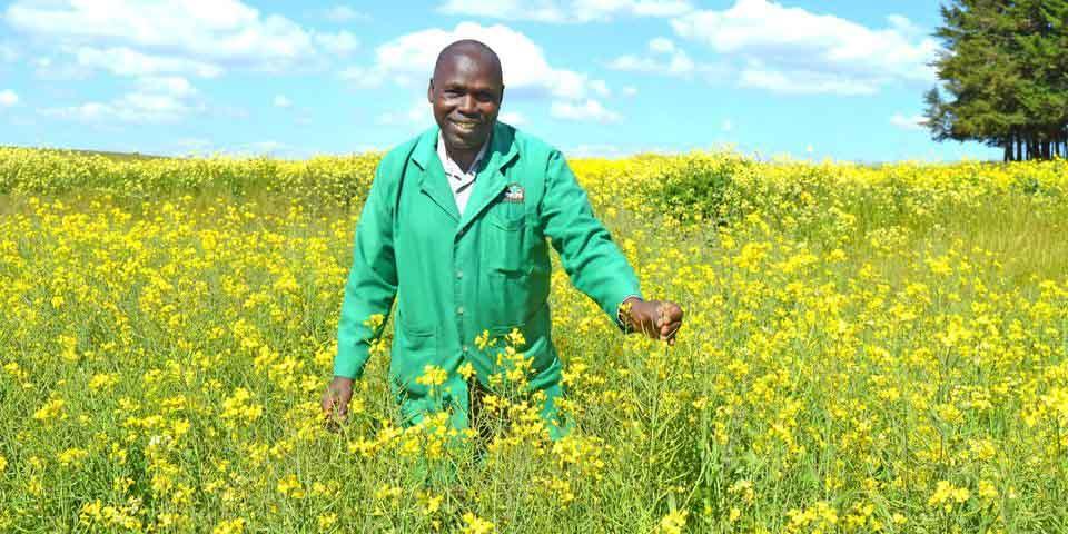 El cultivo de colza florece en Kenia